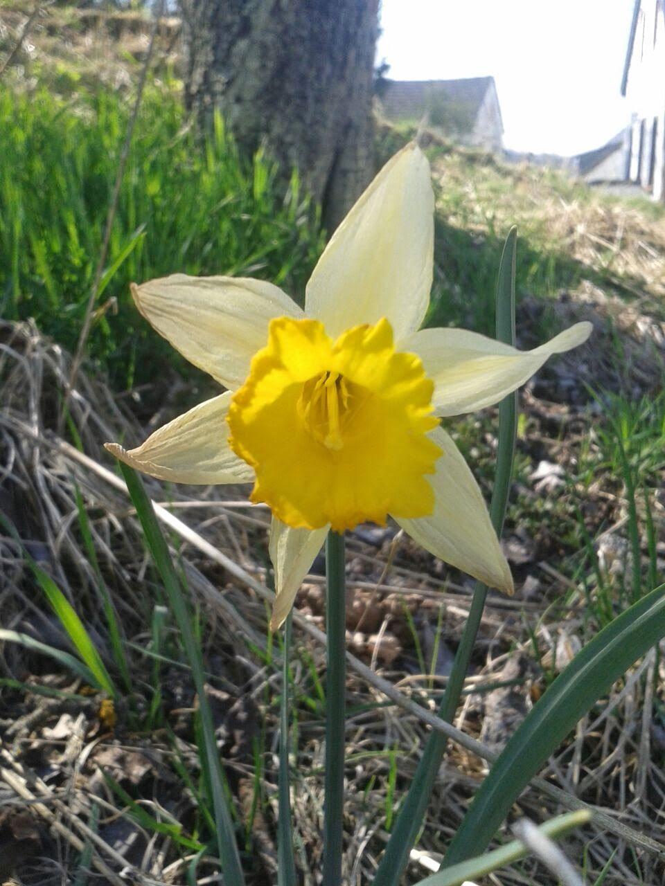 Mein Wundervoller Garten Narzissen Gehoren Zu Den Ersten Blumen