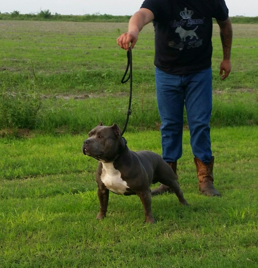 American Bully Jax American Bully Bullying Animals