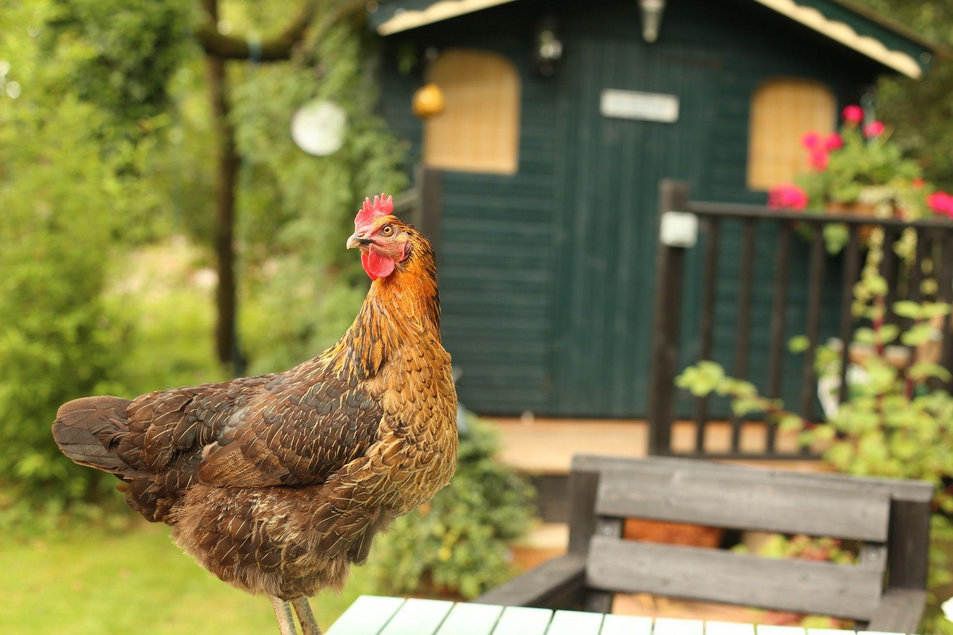 Benefits of Backyard Chickens | Chickens backyard, Pet ...