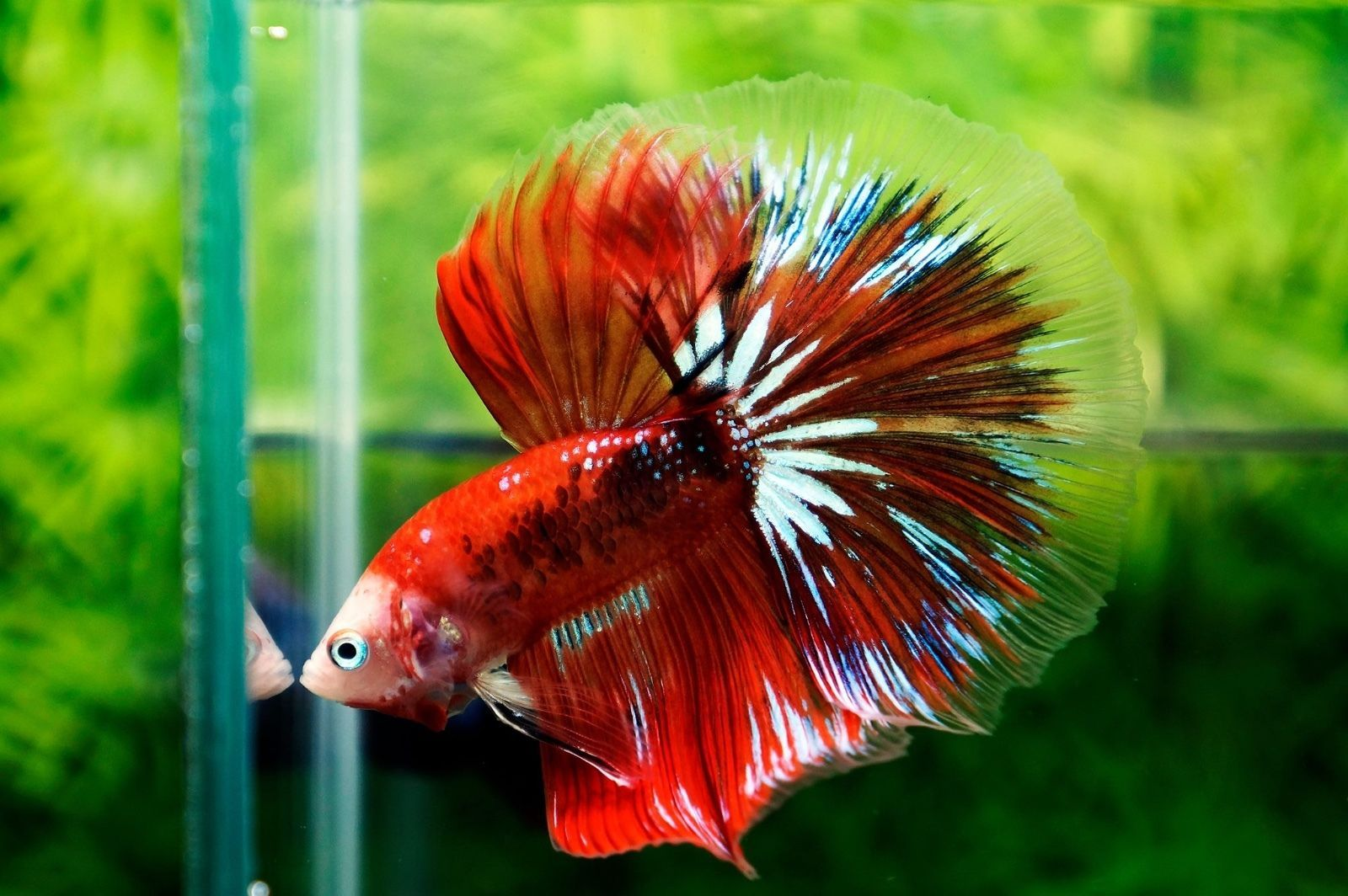 Imported HM Galaxy Koi Male Live Betta Fish | Common Shopping ...