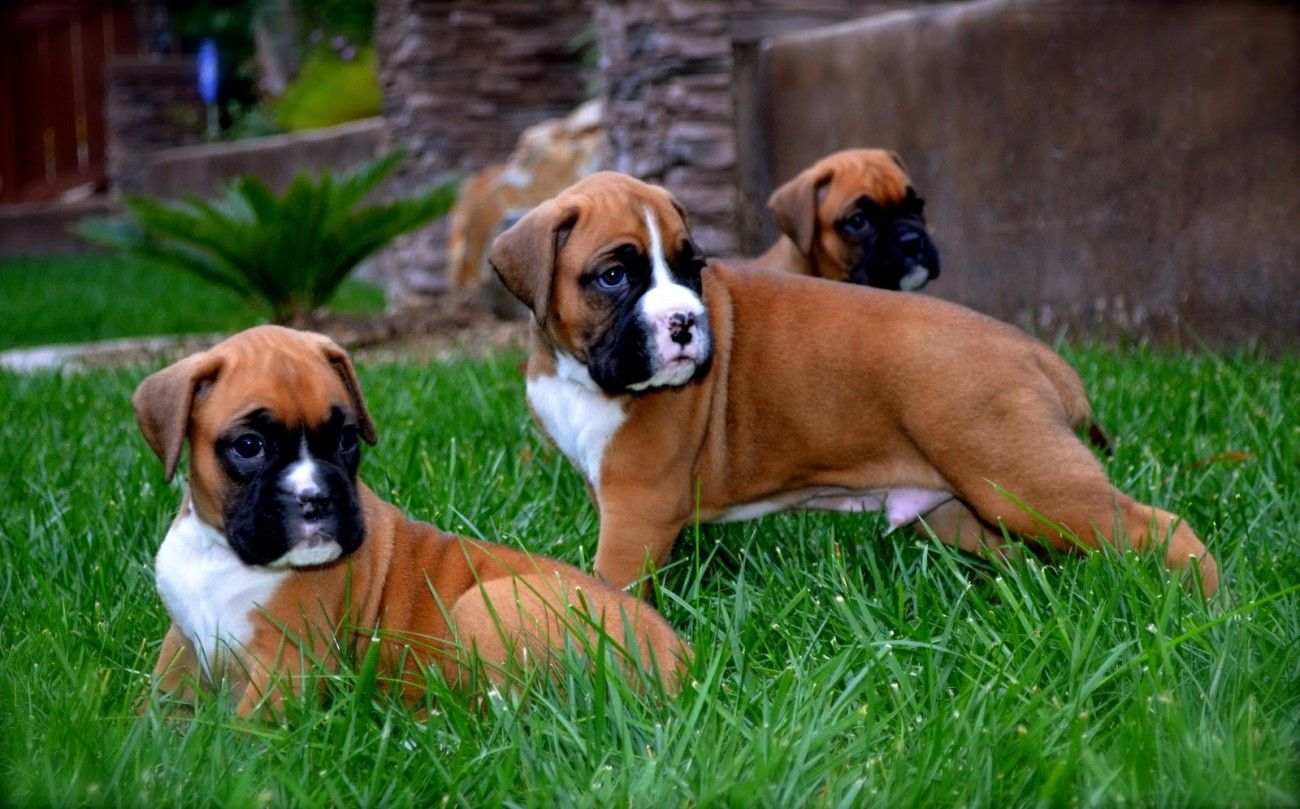 Fawn Boxer Puppies Wallpaper Puppy Wallpaper Puppies