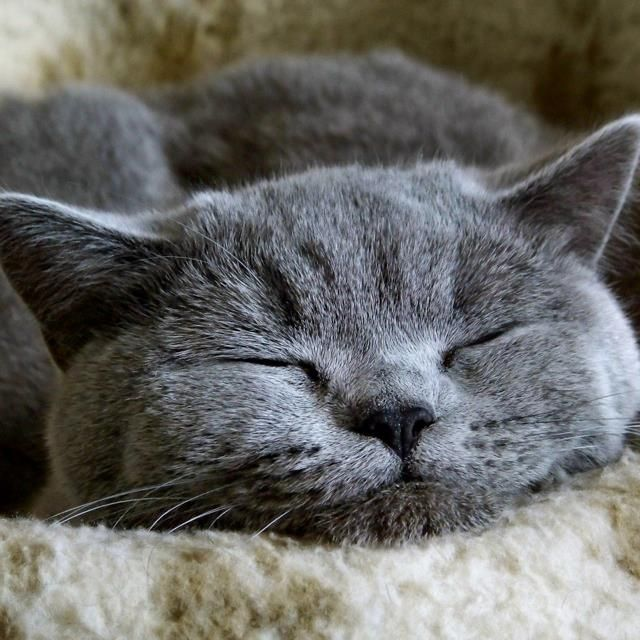 Trivia Time How Many Hours Of Sleep Does A Cat Get On Average Per Day This Guy Is Definitely Ready For His Cat Nap Blue Cats Russian Blue Russian Blue Cat