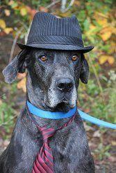 Adopt Zeppelin On Blue Merle Great Dane Great Dane Dogs Dane Dog
