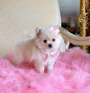 Tiny Teacup Pomeranian Stunning Cream Princess 16 oz at 10