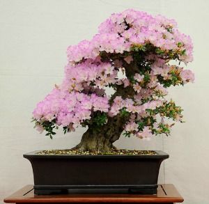 Bonsai Tree Flowers Some Of The Best Bonsai Tree Bonsai Indoor Bonsai