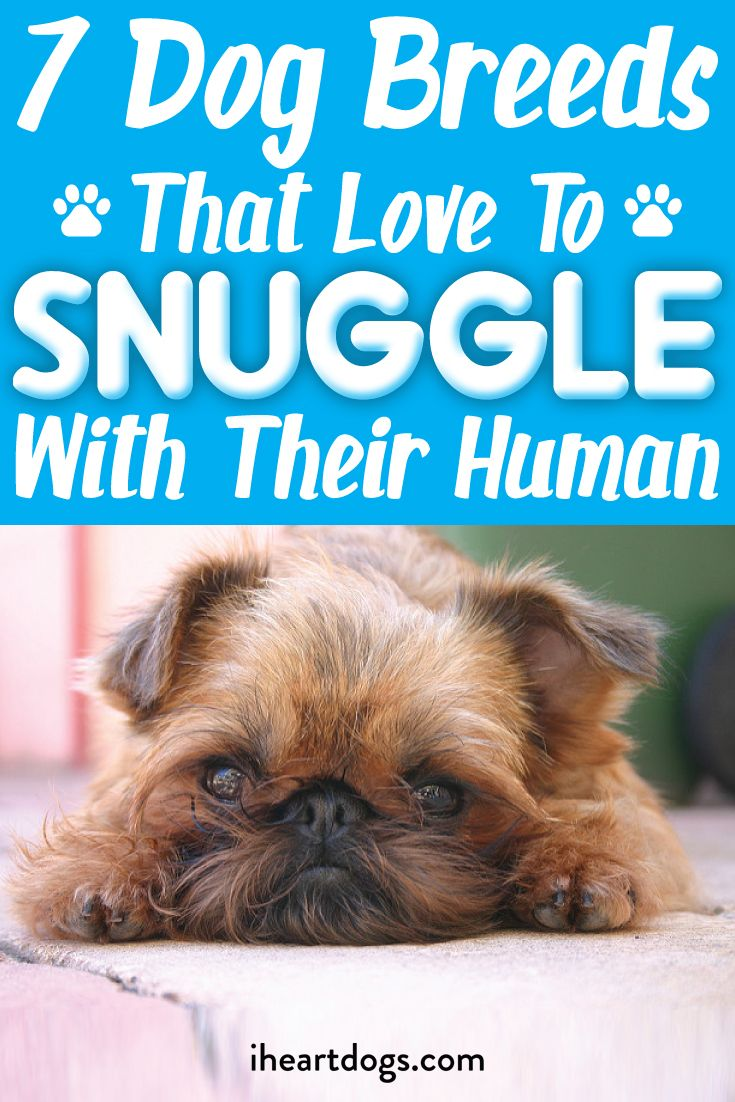 7 Dog Breeds That Love To Snuggle With Their Human Dog Breeds Dogs Small Dog Breeds