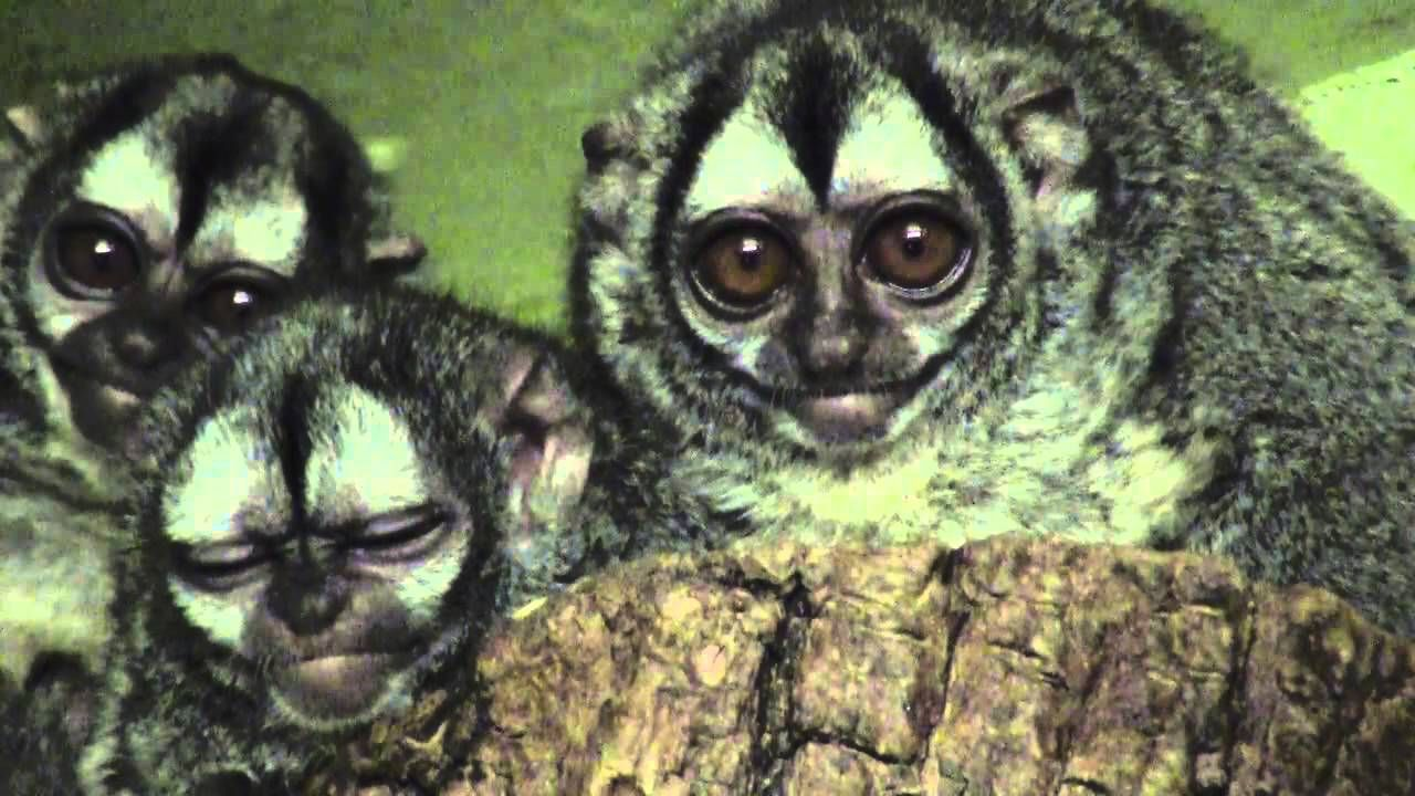 Owl monkeys the most unusual of the new world monkeys (No