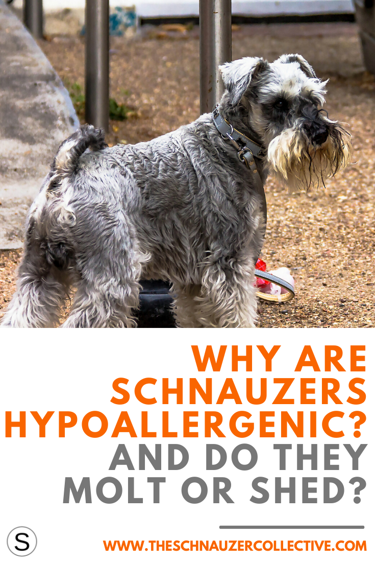 Are Schnauzers Really Hypoallergenic In 2020 Schnauzer