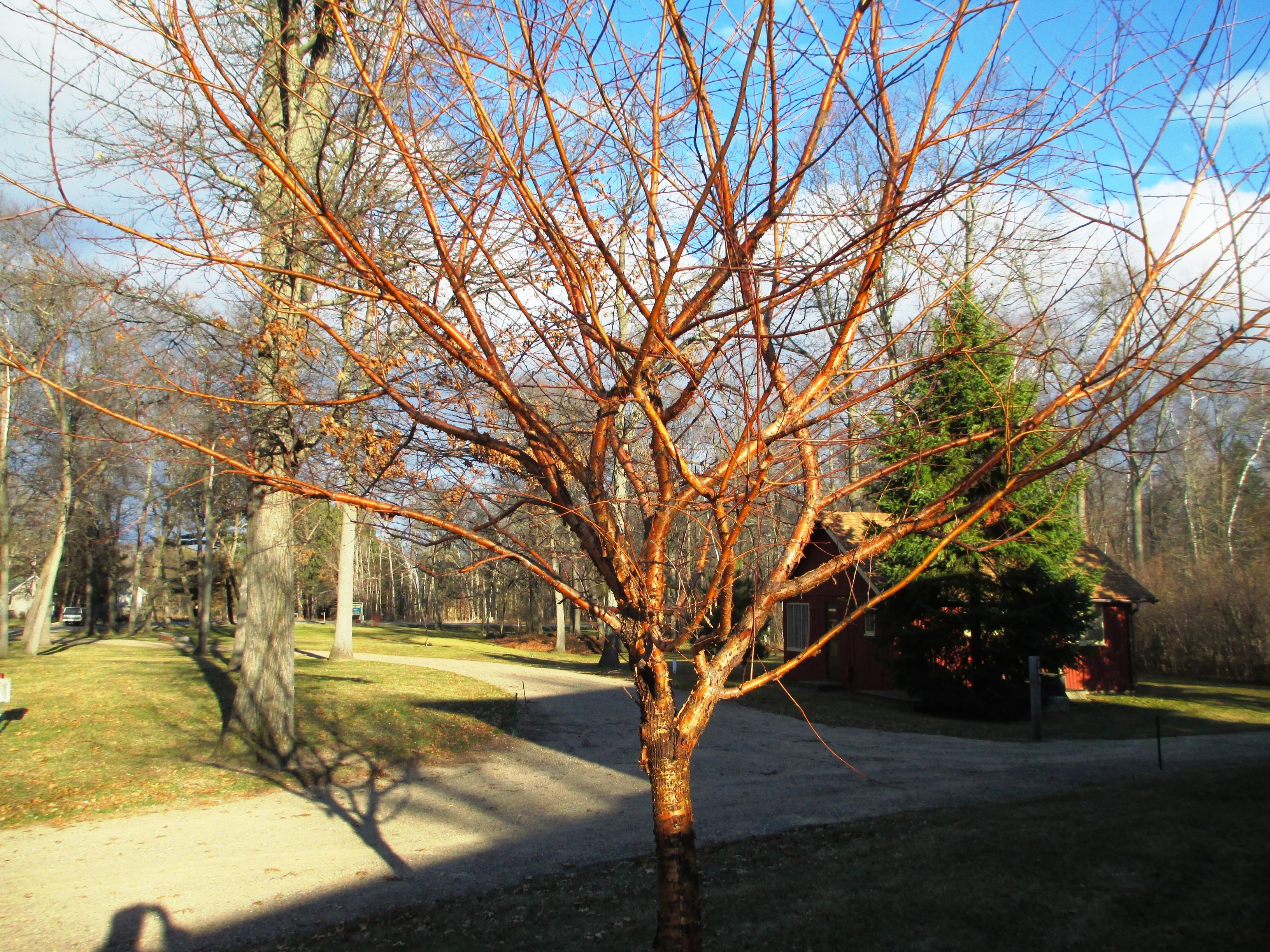 Our Amur Chokecherry Tree next to Lodge 20. What beautiful bark ...