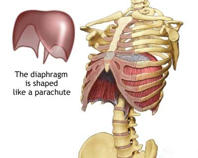 Image showing the shape and location of the diaphragm during ...