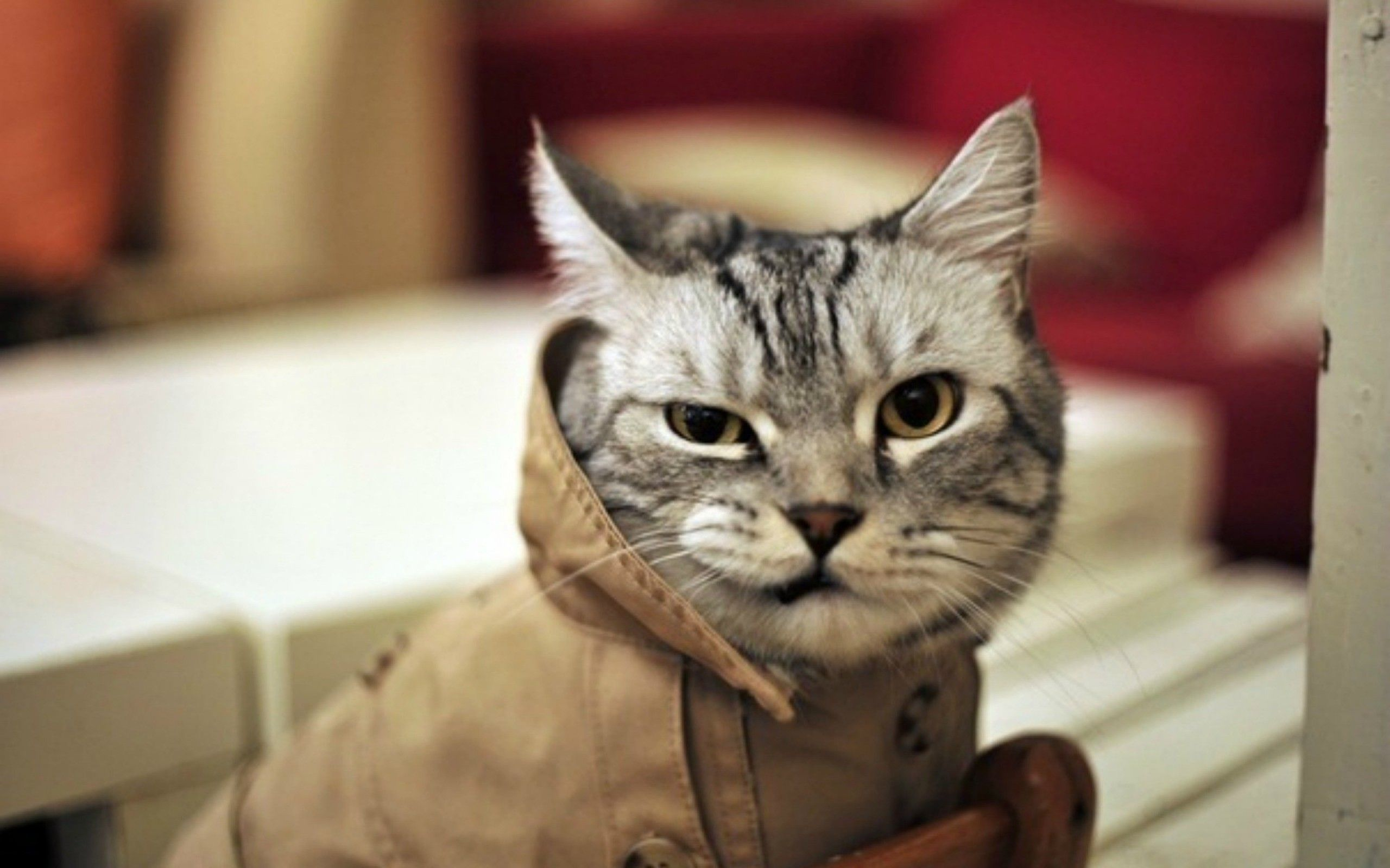 funny cat wallpapers : find best latest funny cat wallpapers for