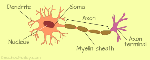 Here Is A Simple Diagram Of A Neuron Neurons Are Key To The Role Our Sense Organs Play Dental Hygiene School Senses Neurons