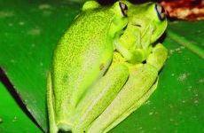 PERERECA-ARAPONGA Hypsiboas albomarginatus Instituto Rã-bugio para Conservação da Biodiversidade