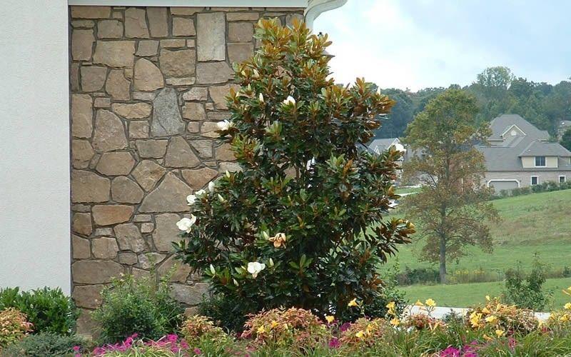 Little Gem Magnolia Trees Southern Magnolia Tree Magnolia Trees Magnolia Tree Landscaping