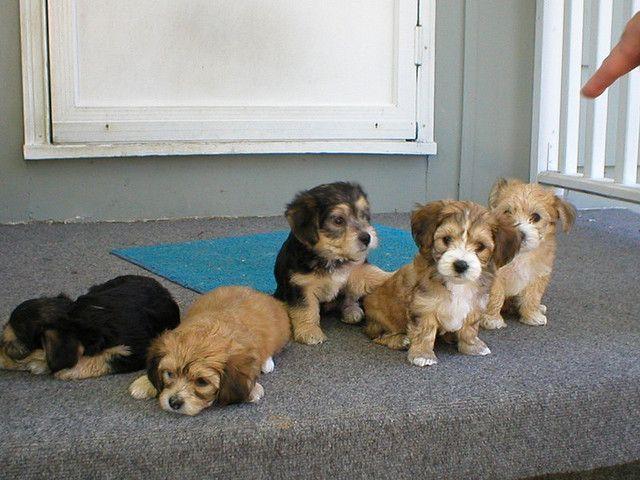 The Yorkie Bichon Litter Hund