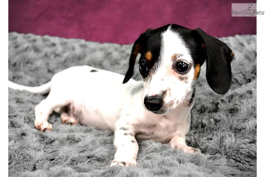Dachshund Puppy For Sale Near Inland Empire California 0a59a1b7