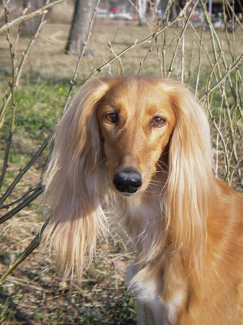 Long Hair Saluki Dog Face Picture Saluki Dogs Saluki Dogs