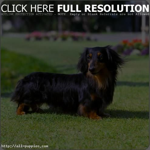 Pin By Beth Lipson On I Love Dachshunds Dachshund Dog Dachshund Puppies Long Haired Dachshund
