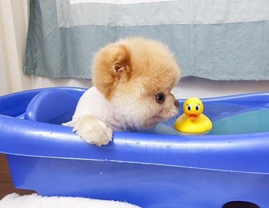 Bath Time For Boo And His Rubber Ducky Boo The Cutest Dog World