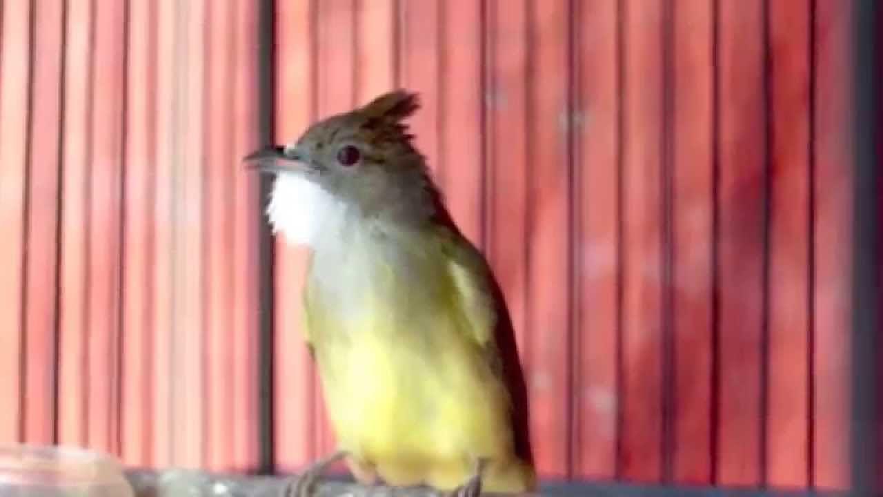 Cara Membedakan Cucak Jenggot Jantan Dan Betina Akurat Betina Jenggot Burung