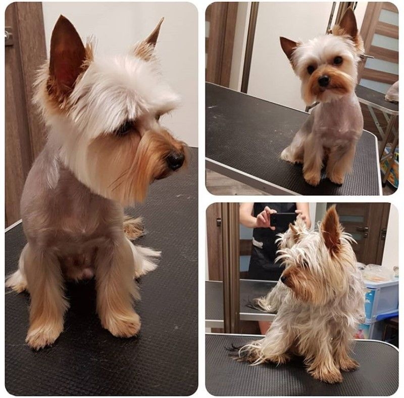24 Best Yorkie Hairstyles For Males Yorkshire Terrier Haircuts The Paws Yorkie Hairstyles Yorkie Terrier Toy Yorkshire Terrier