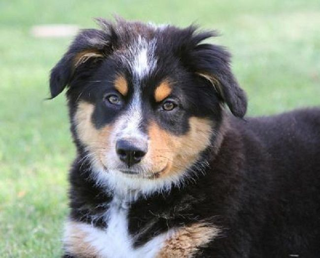 Australian Shepherd Bernese Mountain Dog Mix Puppies Dog