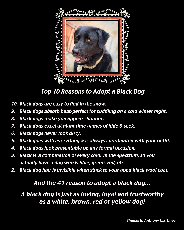 Labrador Retriever Puppies For Sale Labrador Retriever Dog