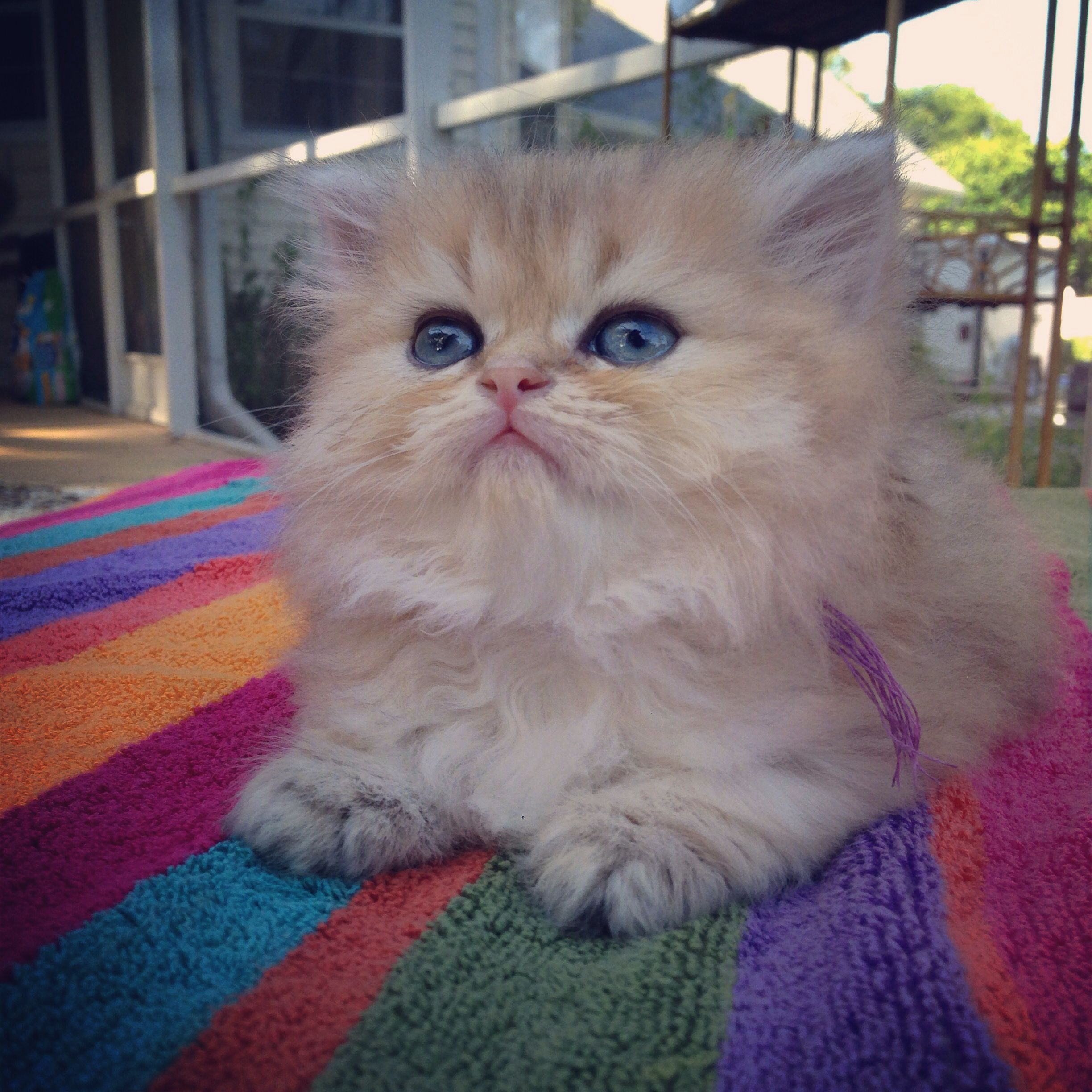 Kismet Kittens has 3 new Golden Shaded Doll Face Persian