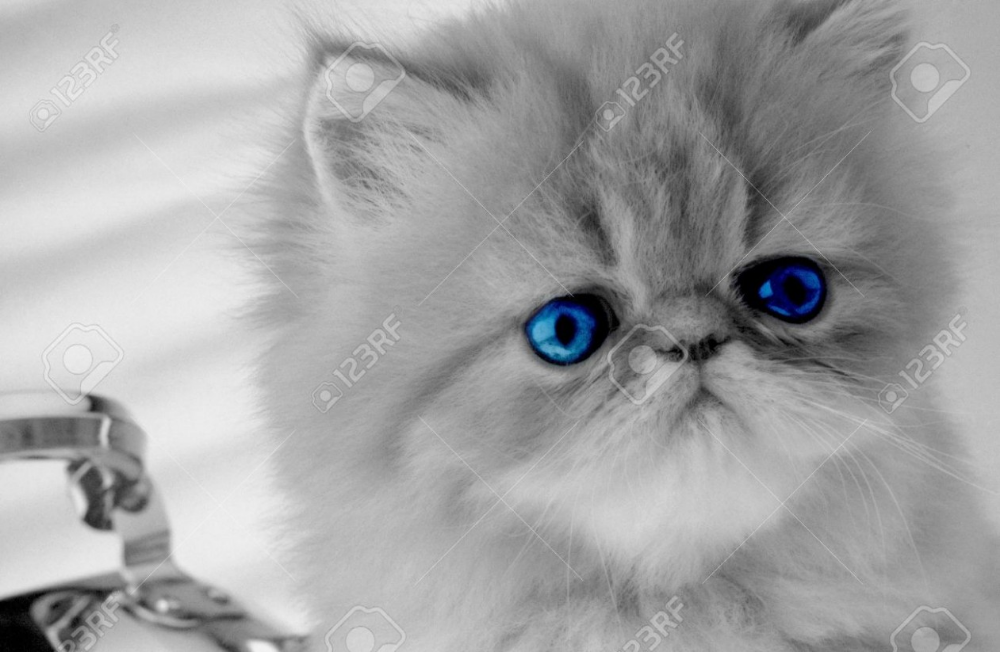 Persian Kitten With Dark Blue Eyes Looks In The Chamber On Grey White Persian Kittens Persian Kittens Persian Cat White