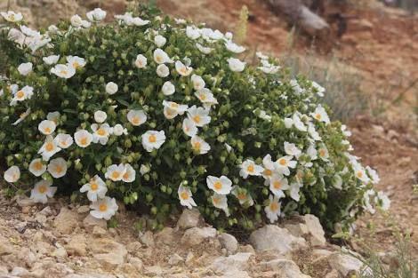 White Rock Rose Google Search