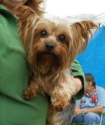 Adopt Max On Yorkie Puppy Yorkie Yorkshire Terrier Dog