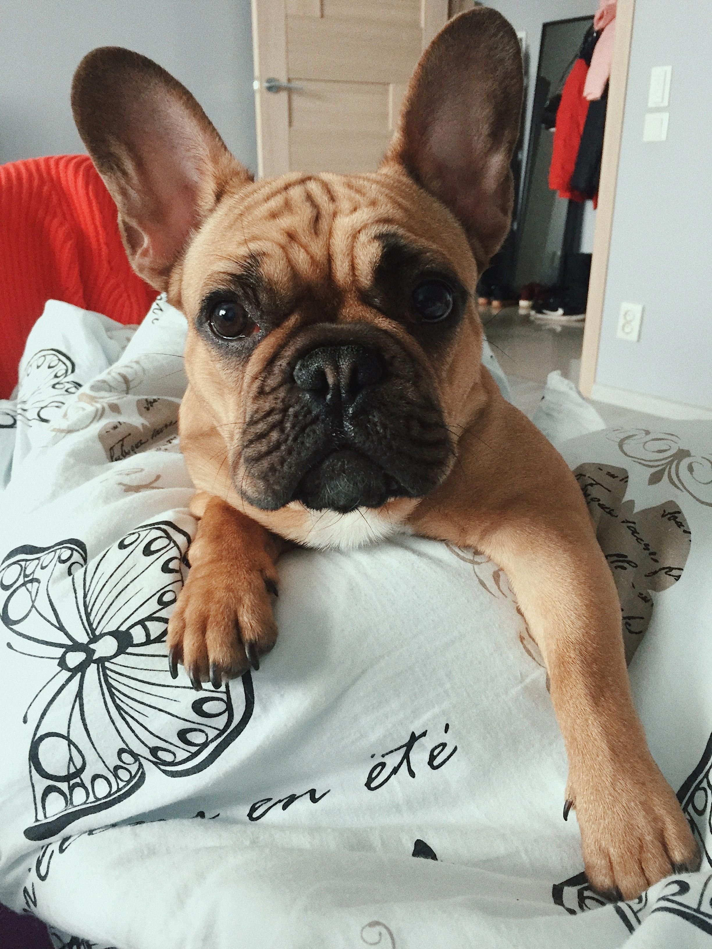 Everything About The Smart French Bulldog Puppies Health