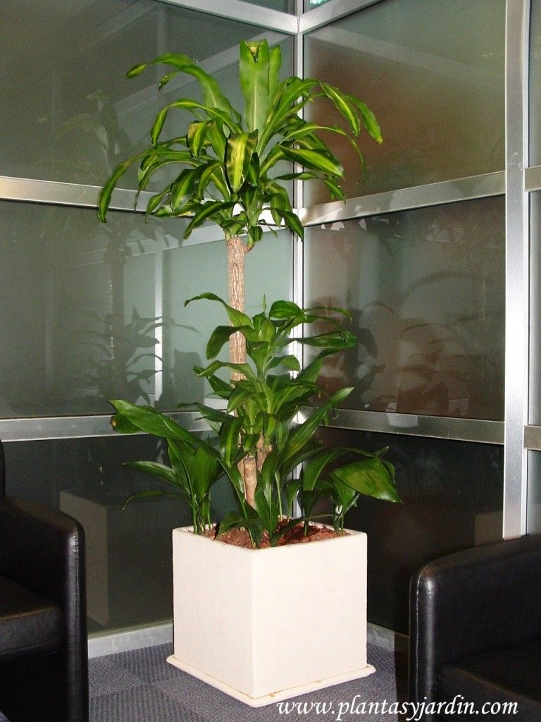 Plantas para cultivar en interiores el palo de agua dracaena fragans plantas jard n - Plantas interiores ...