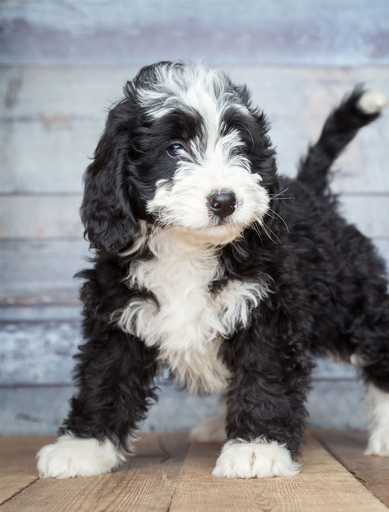 Bernedoodle The Bernese Mountain Dog Poodle Mix In 2020 Doodle Dog Doodle Dog Breeds Poodle Mix