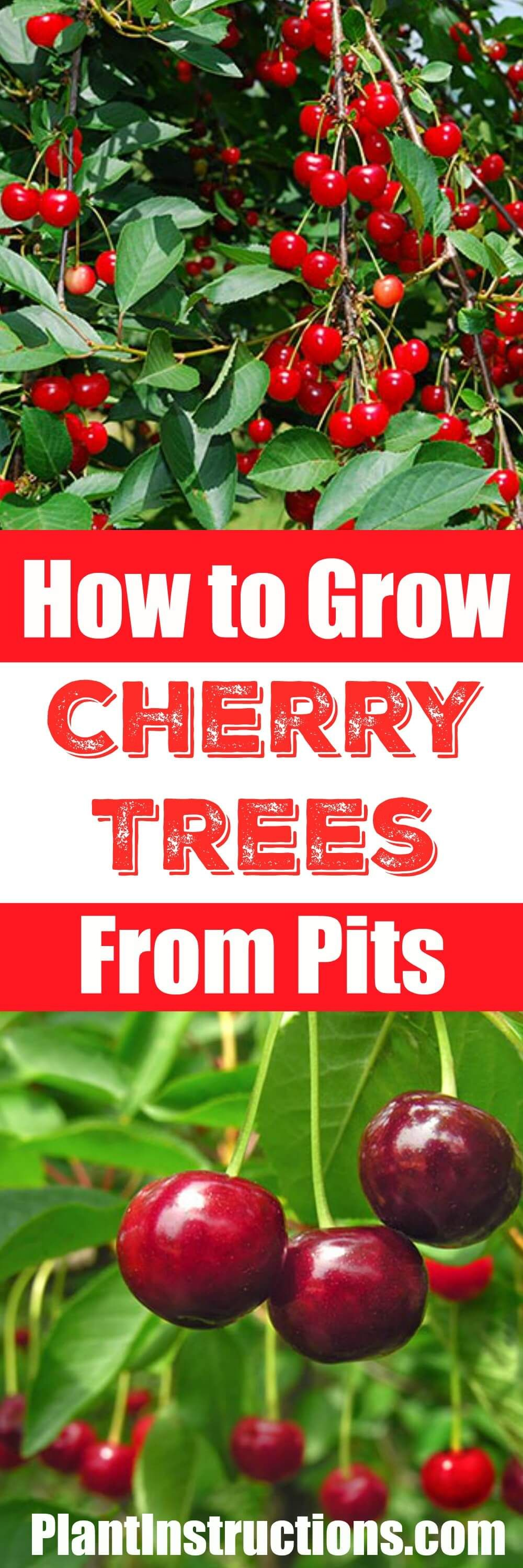 How To Grow A Cherry Tree From Seeds Growing Cherry Trees Cherry Tree From Seed Fruit Garden