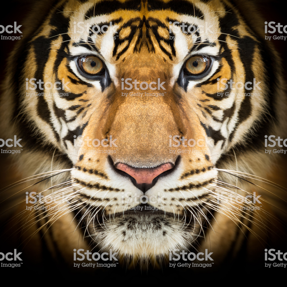 Closeup Of The Young Siberian Face On Dark Background Tiger Face Siberian Tiger Tiger