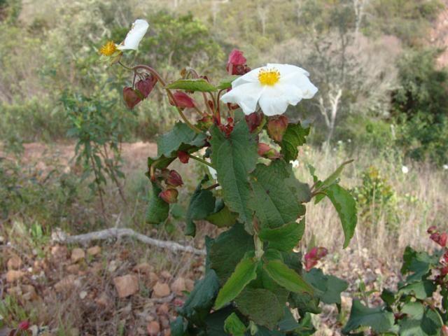 Cistus populifolius (Jarón, Jara cervuna) | Árboles y arbustos ...