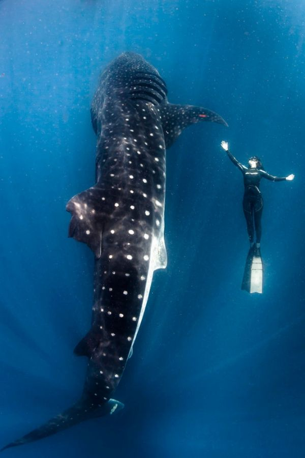 Whale shark...snorkeling along side one was an incredible experience.