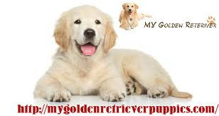 My Golden Retriever Is One Of The Leading And Highly Preferred