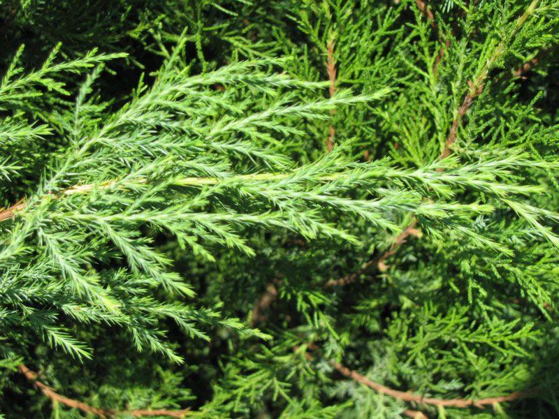cedar pics | Eastern Red Cedar Tree Leaf | plants ...