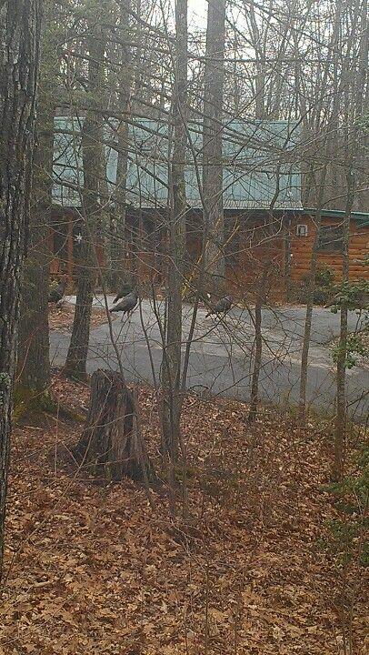 Wild turkey strutting around