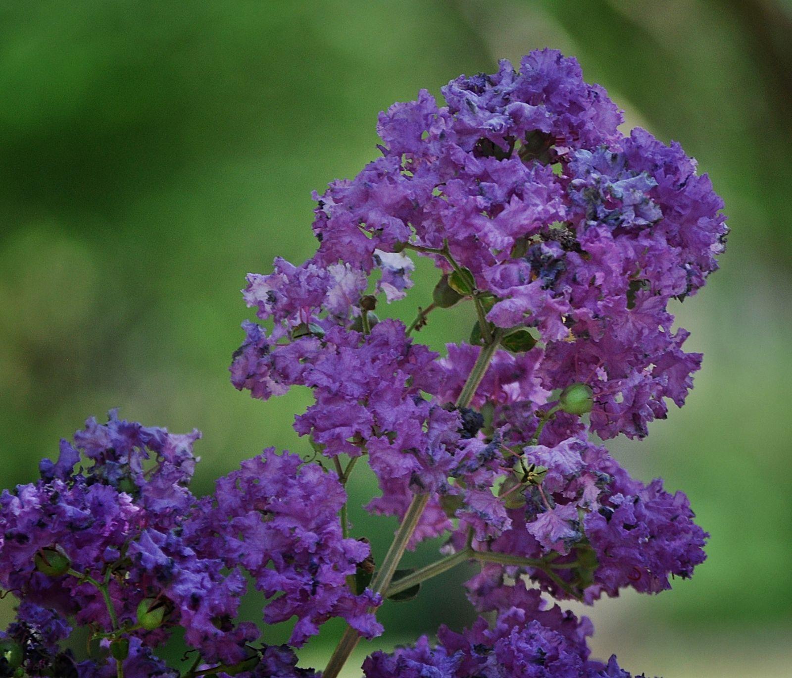 Purple Crape Myrtle Www.outdoorcreationslandscapes.com