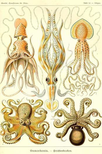 Cephlopods