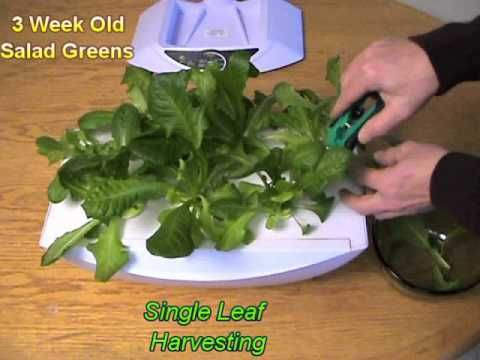 National Indoor Gardening Month Harvesting Lettuce From 400 x 300
