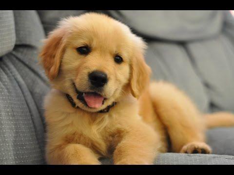 Best Of Cute Golden Retriever Puppies Compilation Puppies Cute