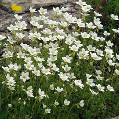 Rocaille et vivace la saxifrage blanche 39 schneeteppich for Fleurs de rocaille vivaces