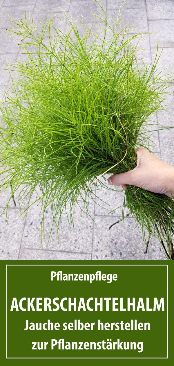 Pflanzenstärkung durch Ackerschachtelhalm | Pflanzenjauche herstellen - grüneliebe
