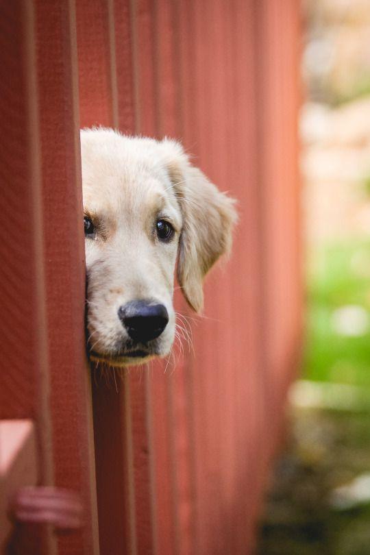 Peek A Boo Cute Dogs Cute Puppies