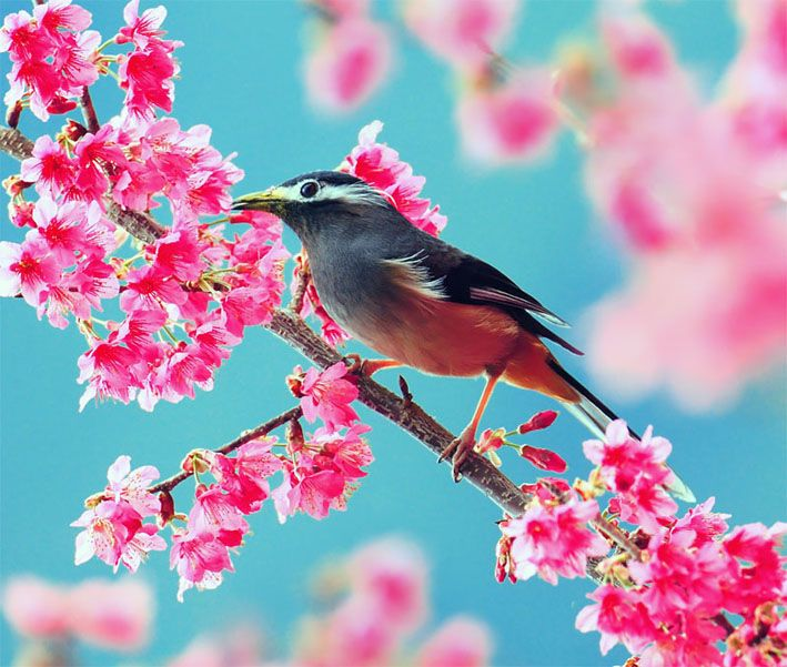 White-eared Sibia: Photography by John & Fish