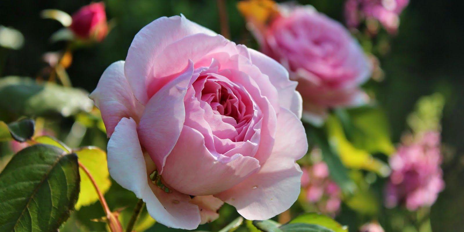 Signes Vals: Rose